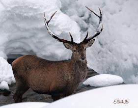 """Photo: Il """"nostro"""" cervo. foto di Elio Selvatico."""