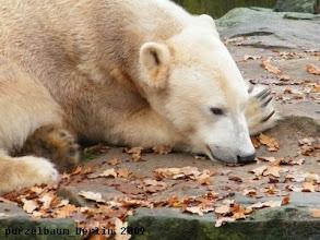 Photo: Knut mit der Nase im Herbstlaub ;-)