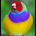 Brazilian´s exotic bird songs