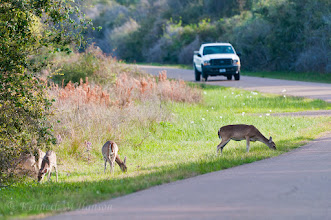 Photo: White-tailed deer coming out in late afternoon at Aransas