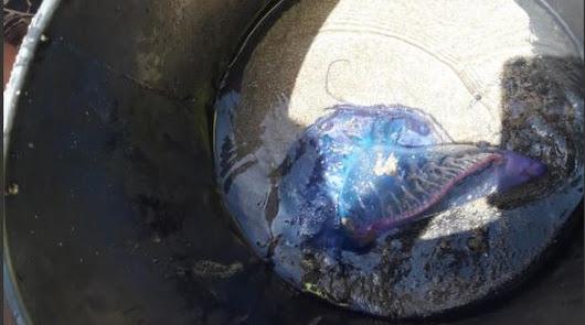Prohíben el baño en San José tras aparecer en el agua una carabela portuguesa