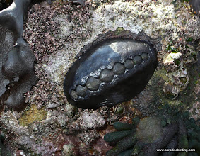 Photo: The prehistoric chiton is exposed at the year's lowest tide, Pt Lobos State Reserve, Monterey County.