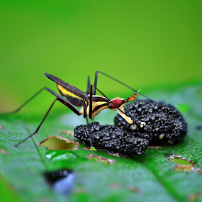 Seed Eater by Irfan Marindra - Animals Insects & Spiders