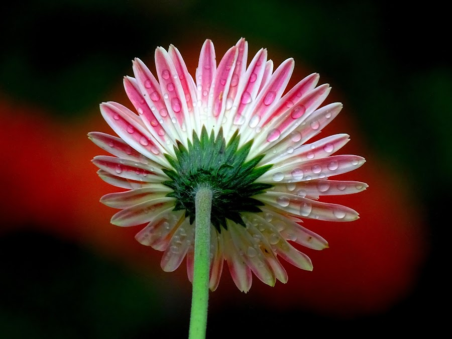 Gerbera  by Asif Bora - Flowers Single Flower