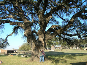 Photo: Then on to Bandera County and a visit to a beautiful Texas Live Oak (Quercus fusiformis) specimen.