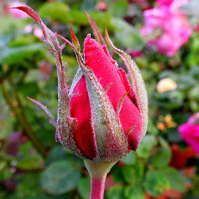FLOWER BUD.. by Ajit Kumar Majhi - Flowers Flower Buds (  )