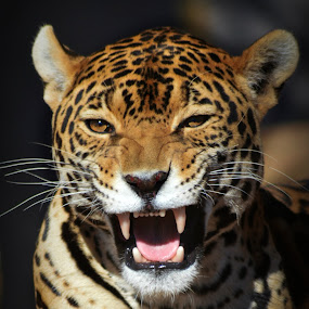 Jaguar Snarl by Christil-Photography Bloemfontein - Animals Lions, Tigers & Big Cats ( jaguar, snarl, angry, grolw, teeth, yawn, leopard )