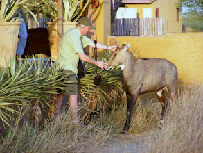 Photo: This young nilgai has become a pet, but he is a heavy animal nontheless!