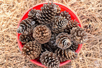 Photo: Day 94-Anybody Want To Buy A Pine Cone
