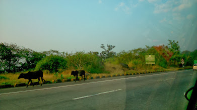 Photo: Cows found on Mumbai - Pune Express Highway while heading to Chattrapati Shivaji International Airport. Sometimes goats, or sometimes elder men or women appear, that is Mumbai - Pune Express Highway. Nobody knows from where they come, and to where they are heading! 15th November updated - http://jp.asksiddhi.in/daily_detail.php?id=363