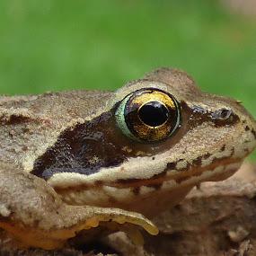 frog by Nick Parker - Animals Amphibians ( frog,  )