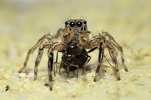 JS by Herman  Noh ( Kajong ) - Animals Insects & Spiders