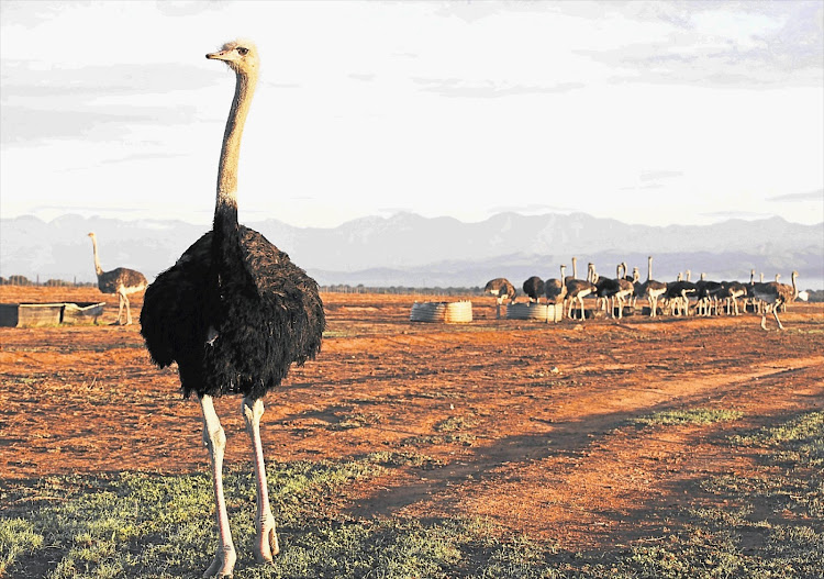 Young ostriches in a camp on the Ostrich Safari farm just outside Oudtshoorn in the Western Cape.