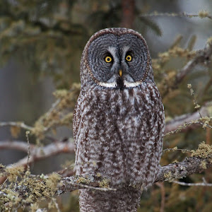 Great Gray Owl 2.jpg
