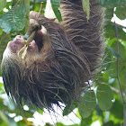 Hoffmann'sTwo-toed sloth