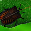 Pentatomoidea, Tessaratomidae (Giant Shield Bug Nymph)