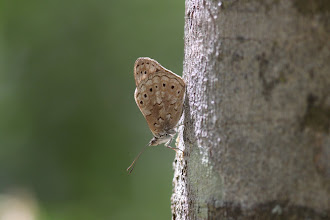 Photo: Tree nymph - Sallya