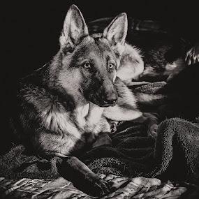 Zulu resting  by Johann Bekker - Novices Only Pets (  )