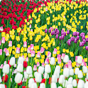 Blooming tulips wallpaper icon