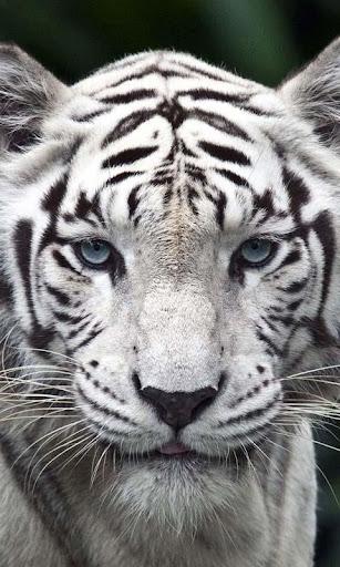 Lwp 白虎