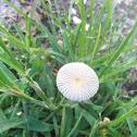 Small pleated inkcap mushroom