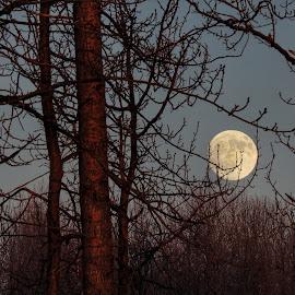 Moonrising  by Patricia Phillips - Landscapes Travel ( alaska moon rising trees winter )