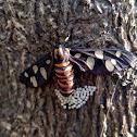 Sandalwood defoliator