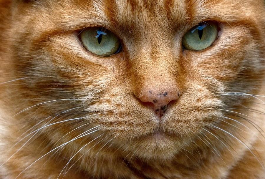 Tango cat by Tracy Hughes - Animals - Cats Portraits (  )