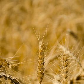 Wheat Plant by Khawaja Hamza - Nature Up Close Gardens & Produce ( wheat, flour, golden )