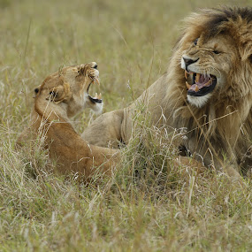 Honeymoon couple by Sue Green - Animals Lions, Tigers & Big Cats ( kenya.east africa. safari.big cats.lions of the massai mara. marsh pride  2013 members of,  )