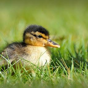 Baby duck by David Branson - Animals Birds
