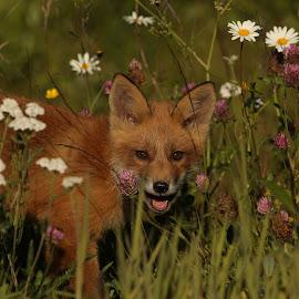 Redfox puppy in flower field by Lillian Utstrand Gulliksen - Animals Other Mammals ( utinaturen, wildeanimals, redfox, foxes, puppies, passion, summertime, wildlife )