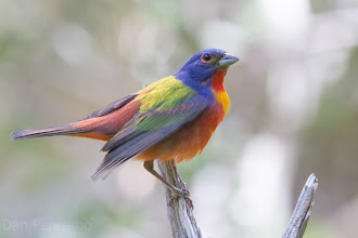 Photo: Painted Bunting  - Texas Guadalupe State ParK