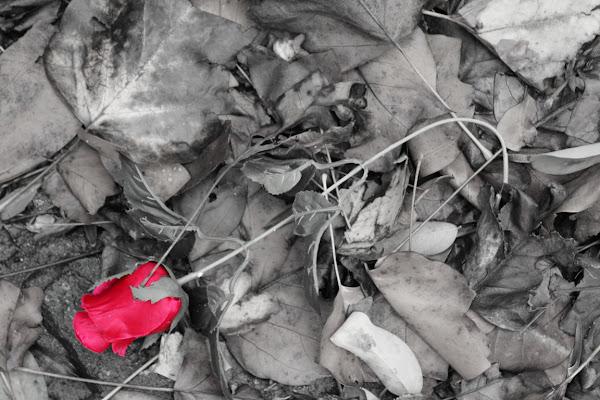 La rosa di silvia_tamburini
