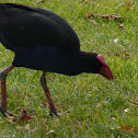 Australian purple swamphen