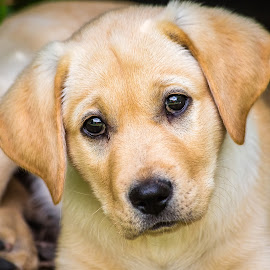 Fury 9 Weeks Old by Dave Lipchen - Animals - Dogs Portraits ( yellow lab )
