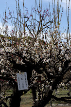 Photo: 大阪管区気象台による梅の標準木(白加賀)の開花発表は2月14日だった。(白加賀、2014,03,04)