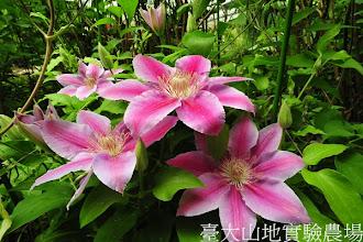 Photo: 拍攝地點: 梅峰-溫帶花卉區 拍攝植物: 鐵線蓮 拍攝日期:2012_04_03_Yah
