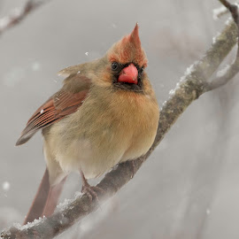 Winter day by Kathy Jean - Animals Birds ( bird, remale, cardinal, angry, animal )