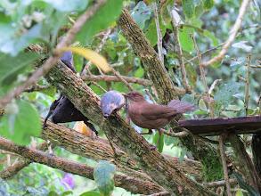 Photo: Clay-colored robin