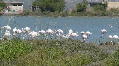 Photo: Phoenicopterus roseus / Greater Flamingo / Fenicottero in Alykes Lake, Tigaki, Kos
