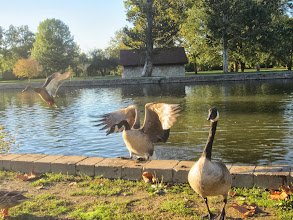 Photo: Geese and ducks flapping out of the water at Eastwood Park in Dayton, Ohio.