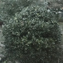gallberry or inkberry holly