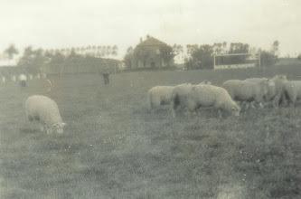 Photo: Schapen hielden het gras kort ( het huidige B veld )
