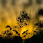 Shilouette by Jennifer Griephan - Nature Up Close Other plants ( silhouette, fall, plants, golden, golden hour,  )