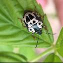 Anchor Stink Bug