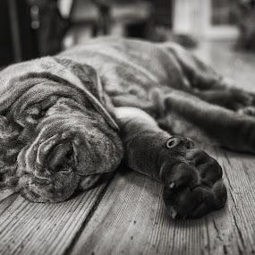 Flopped by Dan Horton-Szar ARPS - Black & White Animals ( floorboards, monochrome, black and white, pet, mastiff, puppy, dog, animal,  )