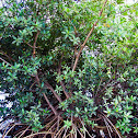 Red Mangrove Tree