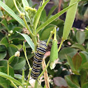 Monarch caterpillar and frass