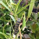Monarch caterpillar and frass